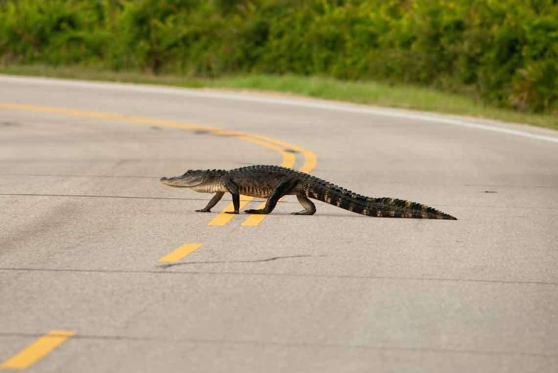 From Reptiles to Weather and More: Driving in Tampa Can Be an Odd Experience Sometimes Hero Image
